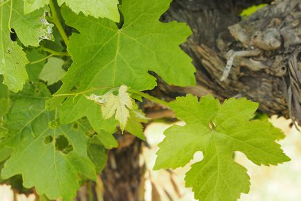 Wine Leaves